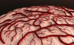 Brain model showing its blood vessels